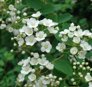 hedge flowers