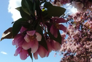 contrast sakura